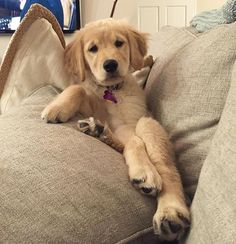 #puppyproblems Happy #FRIDAY ❤️❤️❤️ ______ TAG A FRIEND❤ ______ Credit: My adorable golden friend @goldenjoie ********************************************* ➡#lillyspicoftheweek everyday a 150k feature ************************************************ ➡Want a 450k feature? Every Saturday @puregoldenluv @puppylove_retrievers @tuckerandanniewhitegoldens and me feature one account Tag #instadogsfeature and #follow us *************** ********** You can tag your pic with lillyspicofth...