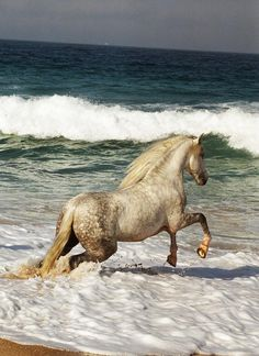 A beautiful dapple gray horse plays in the sun and surf. http://www.liberatingdivineconsciousness.com