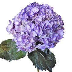Hydrangea Tinted Purple Flower     Purple Tinted Hydrangea is a round shaped flower comprised of numerous clusters of smaller flowers. This brightly colored tinted Hydrangea flower features purple blooms accented with slightly darker shades of purple. The beauty of this flower can stand alone or be combined with other flowers to make stunning wedding bouquets, table centerpieces or flower arrangements.