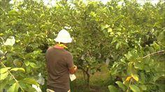 Cómo Combatir las Plagas en Cultivos de Guayaba y Aguacate - TvAgro por ...
