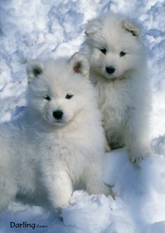 samoyed puppies!!! lil baby Sables :-)