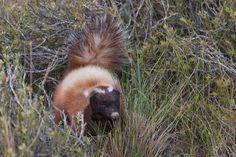El zorrino o chingue de la Patagonia (Conepatus humboldtii)