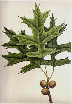 Oak Tree Green Leaf & Acorns