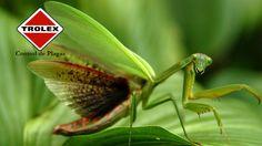 Mantis Religiosas, ¿Son insectos peligrosos? - Trolex