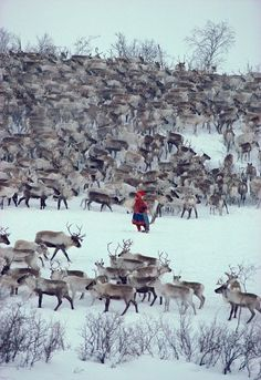 Norway Christmas: Sami woman herder, Berit Logje with her reindeer herd before spring migration. North Norway: Kautokeino, Norwegian Lapland: Arctic & Antarctic photographs, pictures & images from Bryan & Cherry Alexander Photography.