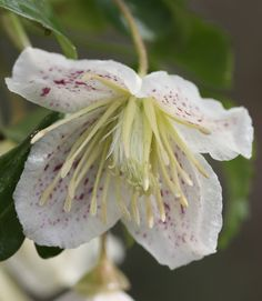 January - Clematis cirrhosa var. balearica - a lovely evergreen climber, with scented, pale cream, cup-shaped flowers, that are lightly speckled with red on the inside