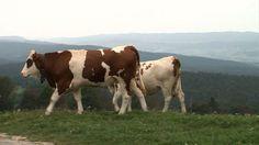 Au cœur du massif du Jura, les prairies grasses offrent aux vaches une aire de pâturage idéale. Leur lait, riche en saveurs sert à la fabrication du comté, un fromage à pâte pressée qu'affectionne particulièrement le chef Guy Martin. Distingué depuis plus de 50 ans par une AOC, chaque meule exige un savoir faire qui se transmet de génération en génération.