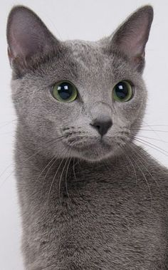 "Portrait of a 'Russian Blue' Cat ~ A very old natural breed common to the Russian town of Arkhangelski, Orig. known as the ""Archangel Cat""   A very ""cat-like"" breed, w/ a lean, athletic form, exquisite face & startling green eyes   They tend to choose whe"