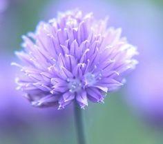 Purple Chive by Digirrl