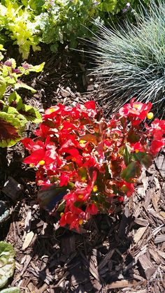 Begonia semperflorens red Sun /shade
