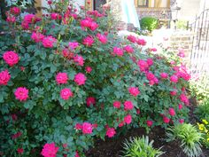 Knock-out roses. Next to the garage where we planted the arborvitae trees. Sooo pretty! 3 total?¿?
