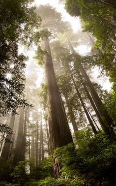 Redwood  Photograph by David Lockwood, My Shot    Coastal Trail  http://travel.nationalgeographic.com/travel/national-parks/your-national-parks-photos/?source=photofooter#/redwood-national-park-fog-morning-forest_51254_600x450.jpg