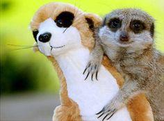Meerkats are adorable