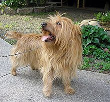 I had a dog just like this little guy growing up. His name was Duffy. Great little dog!