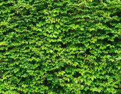 Green leaves wall background - Stock Photo - Images