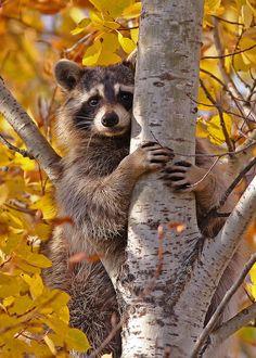 Raccoon...#18 (cutie pie on Explore Dec 16, 2011) by Blackcat Photography, via Flickr