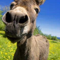 In Germany during the Middle Ages, it was believed that kissing a donkey was a cure for toothaches!