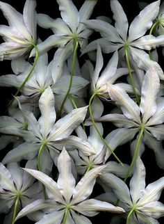 Clematis 'Lincoln Star'