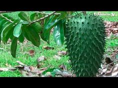 El Cultivo de GUANÁBANA - YouTube