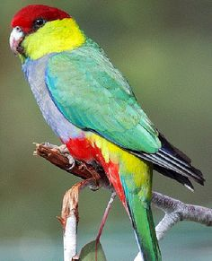 Endemic to Western Australia, Red-capped Parrots are found only in the south-west.  They are most common in Marri  Corymbia calophylla and Jarrah  Eucalyptus marginata forests, woodlands and scrubs.