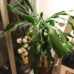 Hoje entrei em casa e ela estava mais perfumada um perfume que lembra orquídea mas que vem das flores que nasceram na dracena que tenho na sala. Boa surpresa!