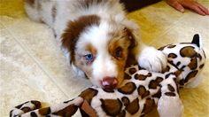Kora, 8 week old Australian shepherd
