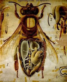 Anatomy of the Honey Bee, Pfurtschellers Zoological Wall Chart by Paul Pfurtscheller - Reproduction Oil Painting I Love Bees, Birds And The Bees, Bees And Wasps, Bee Art, Save The Bees, Bee Happy, Bees Knees, Queen Bees, Bee Keeping