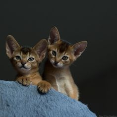 Cute Cats And Kittens, I Love Cats, Crazy Cats, Cool Cats, Kittens Cutest, Kitty Cats, Animals And Pets, Baby Animals, Cute Animals