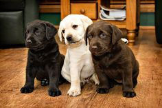 Black, yellow, and chocolate lab puppies