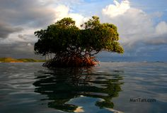 Cayo Caracoles, Puerto Rico....Puerto Rico Mangroves