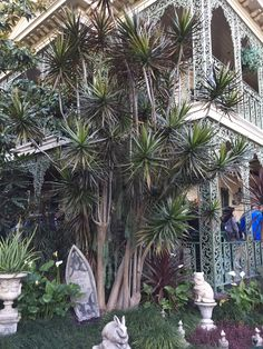 Disney dracaena marginata Haunted House
