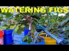 (1489) How To Water Fig Trees In Containers And When To Water Figs - YouTube