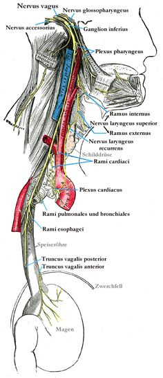 Nervus vagus – Wikipedia