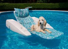 five month old Standard Poodle, hanging out in the pool on a recliner chair.  Submitted by:  David Biondi