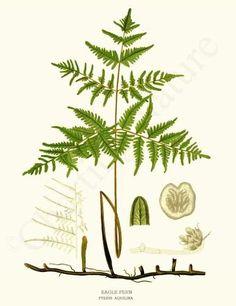 Fern Botanical Art Print: Eagle Fern  11x14 Print