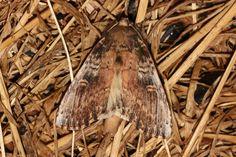 Schizura ipomoeae (Morning-glory Prominent Moth) Hodges # 8005   Pinehurst housing development, South Everett WA USA.