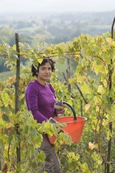How to prune and grow grapevines: A well-pruned grapevine produces 30 to 60 bunches of grapes. #gardening #grapes #grapevines