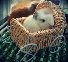 Look at this adorable baby! As seen on the I Love Guinea Pigs Facebook page. <3