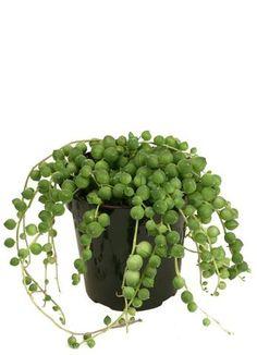 "Senecio rowleyanus ""String of Pearls"" – Altman Plants Hanging Succulents, Succulent Pots, Cacti And Succulents, Hanging Planters, Hanging Baskets, Wholesale Succulents, Decorative Gravel, Large Flower Pots, String Of Pearls"