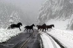 Horses crossing the snow covered road in Grevena, Greece All The Pretty Horses, Beautiful Horses, Animals Beautiful, Clydesdale, Animals And Pets, Cute Animals, Majestic Horse, Wild Mustangs, Tier Fotos