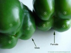 I never knew this! Flip the bell peppers over to check their gender. The ones with four bumps are female and those with three bumps are male. The female peppers are full of seeds, but sweeter and better for eating raw and the males are better for cooking. Very interesting!