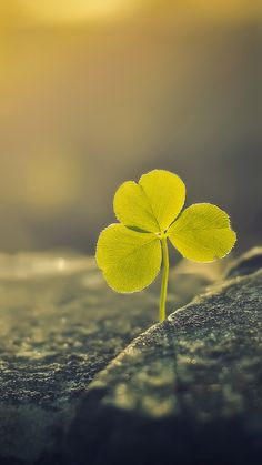 http://www.vactualpapers.com/gallery/three-leaf-clover-sunlight-macro-android-wallpaper
