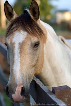 Beautiful markings and colored horse with white blaze and pink nose. Such a pretty face.