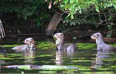 Giant Otters In Manu