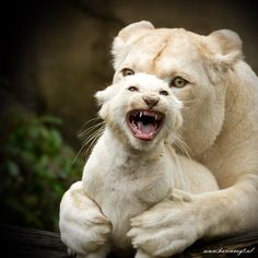 White Lion and cub # animals # Animals And Pets, Baby Animals, Cute Animals, Wild Animals, Nature Animals, Angry Animals, Beautiful Cats, Animals Beautiful, Animals Amazing