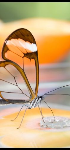 This is a glasswing butterfly, known scientifically as Greta oto.  Taken in the Hortus Botanicus in Amsterdam by Erwin Bolwidt.