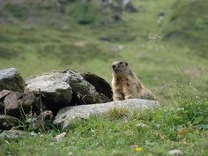 A marmot in the Hohe Tauern National Park
