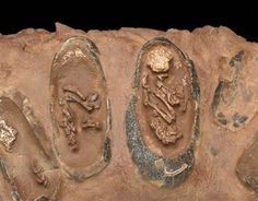 Fossilized dinosaur eggs with babies inside!