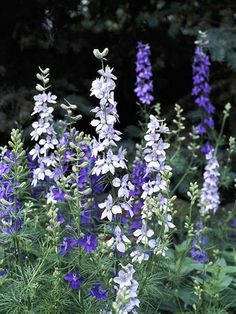 Larkspur  ;                                               Delphiniums don't grow well in S. FL. But similar looking Larkspur can take the heat so I planted some seeds around the base of a Bottlebrush tree.  They were beautiful.  They are good cutting flowers for a vase.