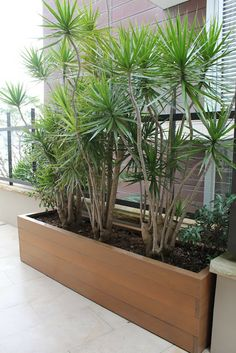 Dracena marginata provides a sculptural screen. Dracena marginata provides a sculptural screen. Screen Plants, Balcony Plants, House Plants Decor, Outdoor Plants, Plant Decor, Outdoor Gardens, Privacy Plants, Privacy Screens, Balcony Garden
